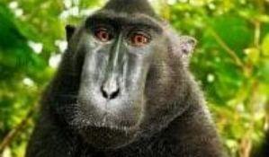 Završena sudska bitka oko autorskih prava na selfi majmuna