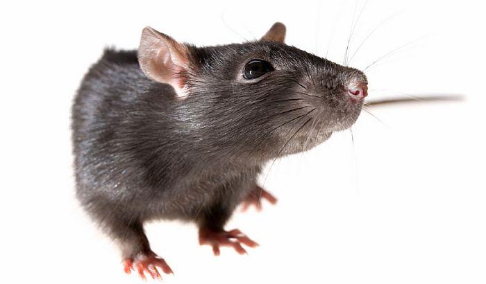 Novi Zeland najavio da će istrebiti sve pacove, oposume i lasice