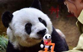 Uginula najstarija panda na svetu