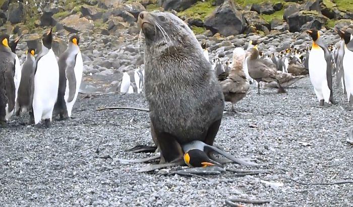 Zašto foke pokušavaju da imaju seks sa pingvinima?