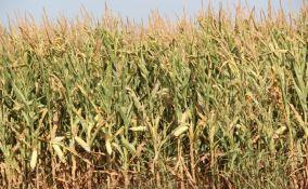 Karavukovo: Puškom ubio čoveka koga je zatekao u krađi kukuruza