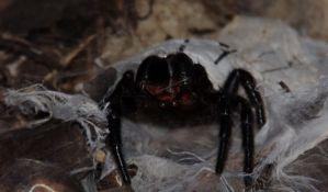Otrov najsmrtonosnijeg pauka lek za moždani udar