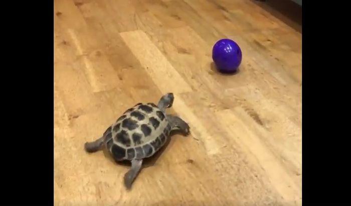 VIDEO: Neverovatno brza kornjača igra se loptom