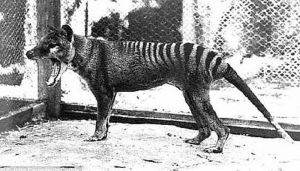 Tasmanijski tigar izumro zbog suše