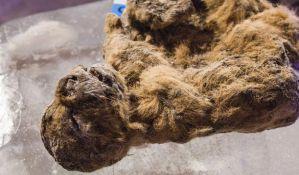 Naučnici planiraju da kloniraju pećinskog lava