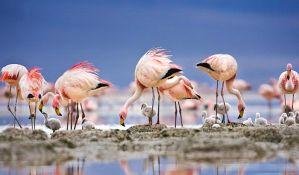 Desetine flamingosa uginulo od hladnoće u Ulcinju