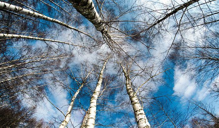 Počinje sezona alergija, u Novom Sadu visoka koncentracija polena osam biljaka