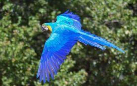 Papagaj plava ara je potpuno istrebljen u divljini