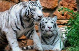 Dva tigra ubila čuvara parka