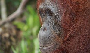 Broj orangutana na Borneu od 1999. smanjen za 100.000