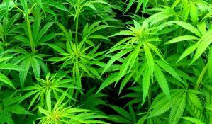 Zaplenjeno 90 kilograma marihuane