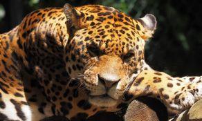 VIDEO: Jaguar pobegao iz zoo vrta i ubio šest životinja