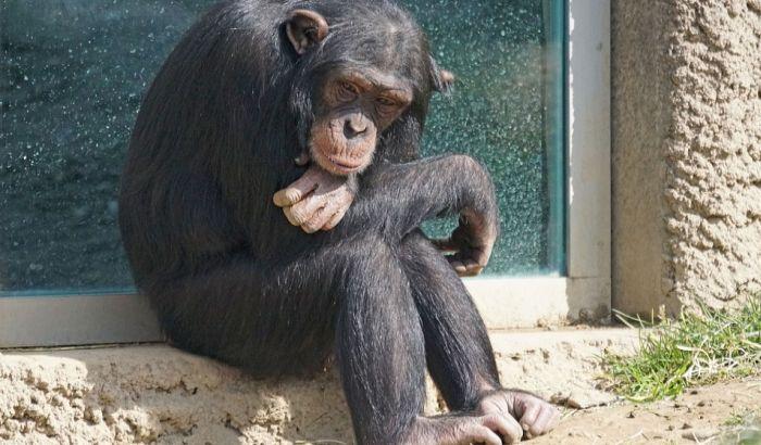 Sud na Menhetnu odlučuje da li je šimpanza ličnost
