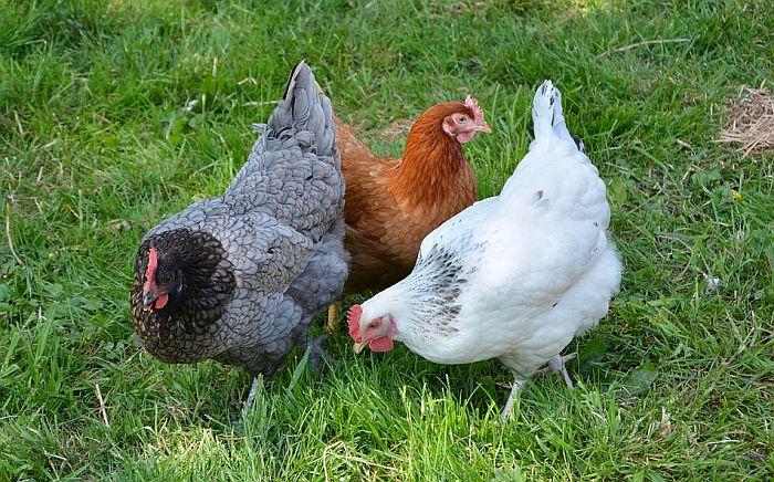 Navijačima Nigerije zabranjeno da unesu kokoške na stadion