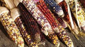 FOTO: Uzgojio šareni kukuruz