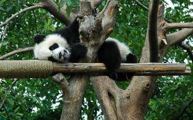Sve više džinovskih pandi, ali sve manje staništa