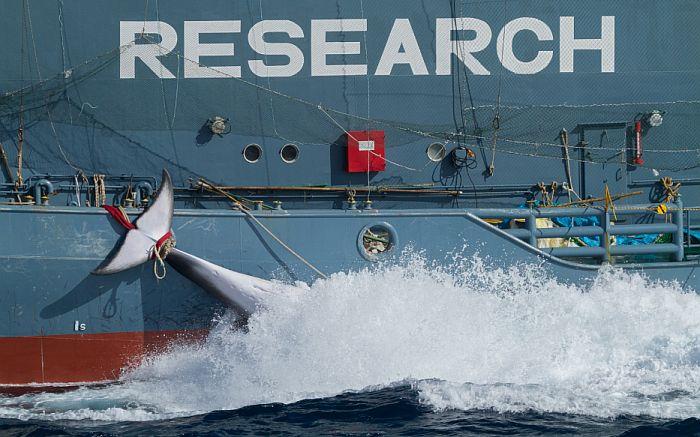 Ubijeno 177 kitova