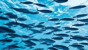 Riba od čijeg parenja druge životinje ogluve