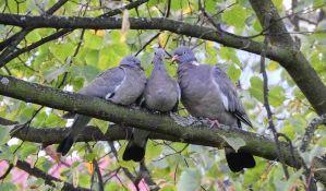Zašto retko viđamo mladunce golubova?