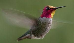 Kolibriji su snažni kao mali Švarcenegeri