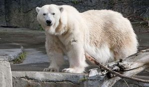 Uginuo najstariji polarni medved u SAD
