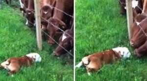 VIDEO: Prvi susret malog buldoga i velikih krava