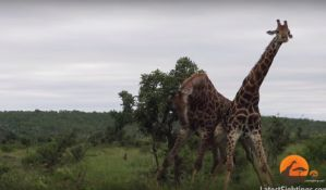 VIDEO: Mužjaci se potukli zbog ženke žirafe