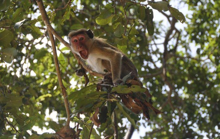 Otkrivena još jedna velika sličnost između majmuna i ljudi