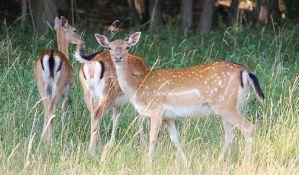 Apatin: Krdo jelena protrčalo ulicama