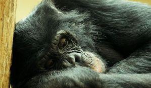 Kako šimpanze komuniciraju