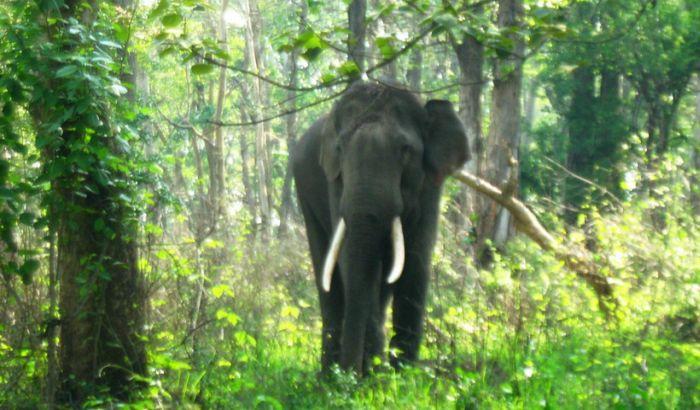 Raspisana poternica za podivljalim slonom