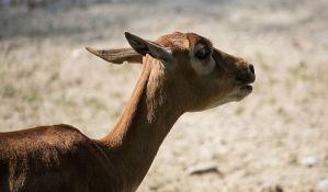 Policija upozorila Britance zbog bega antilope iz Zoološkog vrta