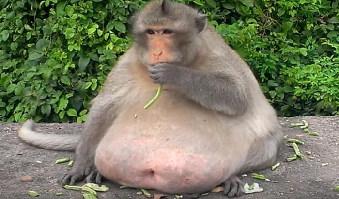 VIDEO: Debeli majmun ugojen brzom hranom stavljen na dijetu