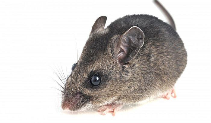 Tinejdžerke se igrale Hitlera i ubile miša u gasnoj komori