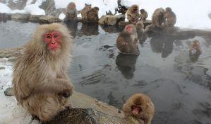 Ubijeno 57 snežnih majmuna