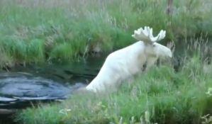 VIDEO: Snimljena izuzetna retka vrsta belog losa