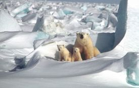 Polarni medvedi će izumreti za 40 godina
