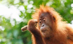 Uhapšeni jer su ubili orangutana