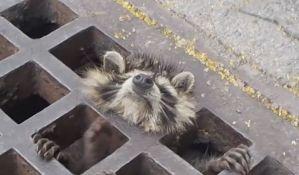 VIDEO: Satima spasavali rakuna zaglavljenog u rešetki kanalizacije