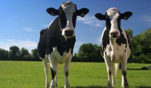 Vakcinacija u gradovima u kojima je zabeležena bolest goveda