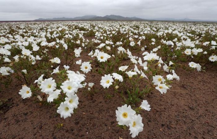 FOTO: Zbog iznenadne kiše procvetala pustinja Atakama