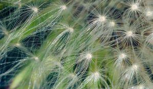 Raste koncentracija polena u vazduhu