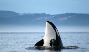 Pomoću kitova ubica otkriven uzrok menopauze