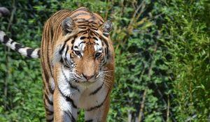 Bangladeš udvostručio površinu rezervata bengalskih tigrova