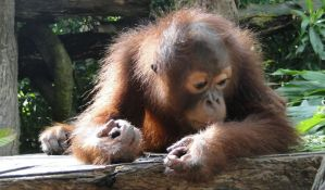 Naučnici otkrili da mali orangutani sisaju najmanje osam godina