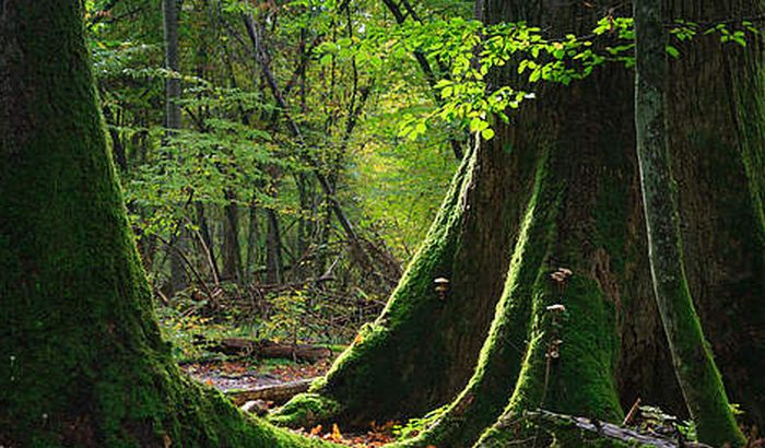 EU tuži Poljsku zbog seče prašume pod zaštitom UNESKO-a