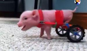 VIDEO: Udomio prasence deformisanih nogu i napravio mu točkiće