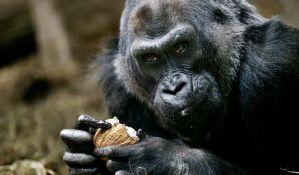 Uginula najstarija ženka gorile u zatočeništvu