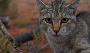 Australija planira da ubije dva miliona divljih mačaka
