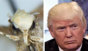 Nova vrsta noćnog leptira dobila ime po Donaldu Trampu